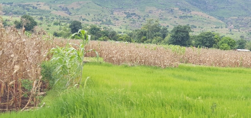 Photo of healthy matured maize and rice crops.