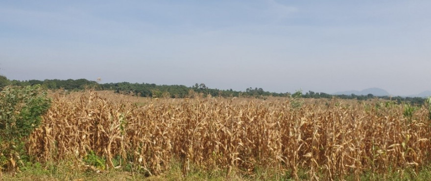 Photo of dried maize crop.