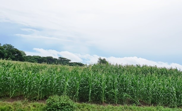 This is a photo of a healthy maize crop.