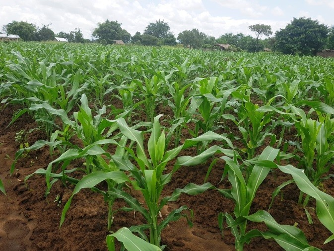 Maize crops in Kasungu District – Mid January 2019