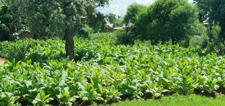 This is a photo of a healthy tobacco crop.