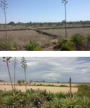Figures 2 and 3. Plots are still not being prepared: rice paddies in Maniry (above) and maize in Androka (below), in the district of Ampanihy