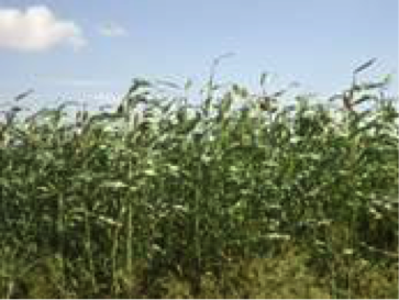 Sorghum crop in northwestern agropastoral area, Ceel Baxay, Gabiley District, Woqooyi Galbeed Region, October 2013