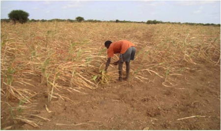 Failed sorghum crop, Jalaqsi District, Hiraan Region, July 2013