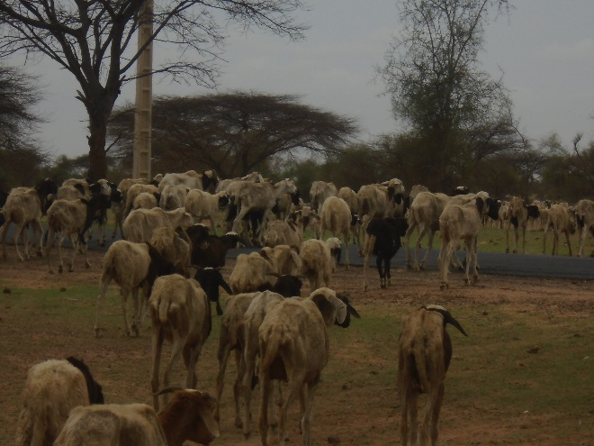 Figure 3. Small ruminants returning from seasonal grazing areas in Boulal
