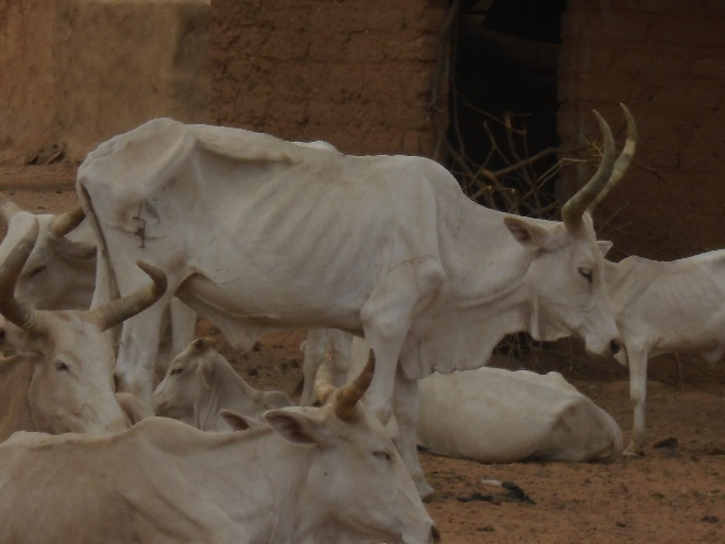 Figure 4. Livestock in physical distress in Matam