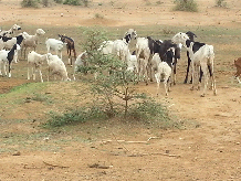 Figure 5. Livestock in Matam