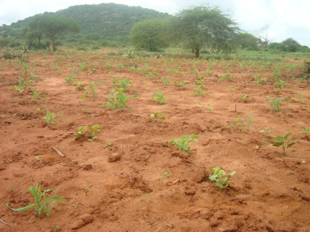 Figure 1. Underdeveloped crops in Taita Taveta County, December 19, 2013