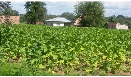 Figure 5. Tobacco crop in Chipashu Area of Ward 4, Chegutu District, mid-January 2017.