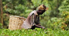 Photo of woman picking tea in Kenya